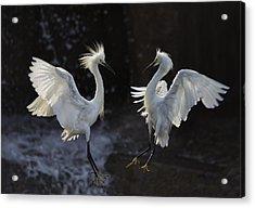 Egret Acrylic Print