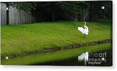 Egret Dance Acrylic Print by Greg Patzer