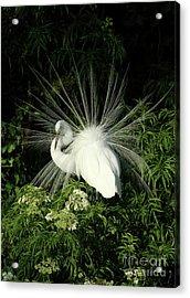 Egret Fan Dancer Acrylic Print