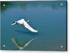 Egret Flying Acrylic Print by Teresa Blanton