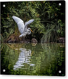 Egret Hunting For Lunch Acrylic Print