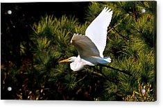Egret In Flight 1 Acrylic Print