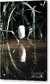 Egret In Reed Acrylic Print