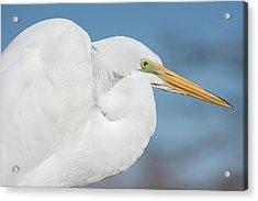 Egret Portrait Acrylic Print