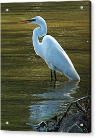 Acrylic Print featuring the photograph Egret Resting by Kathleen Stephens