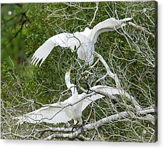 Egret Rumble Acrylic Print by George Randy Bass