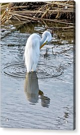 Egret Standing In A Stream Preening Acrylic Print