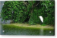 Egret Wakodahatchee Florida Wetlands Acrylic Print
