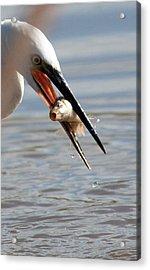 Egret With Fish Acrylic Print by Bob Kemp