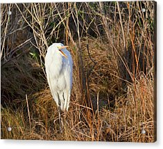 Egret With Something To Say Acrylic Print by George Randy Bass