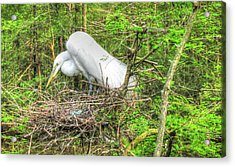Egrets And Eggs Acrylic Print