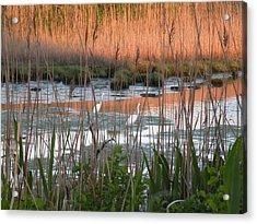 Egrets At Sunrise Acrylic Print by Donald Cameron