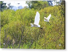 Acrylic Print featuring the photograph Egrets In Flight by Jennifer Casey