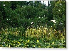 Egrets Nesting Acrylic Print