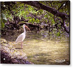 Acrylic Print featuring the photograph White Ibis Mexico by William Havle