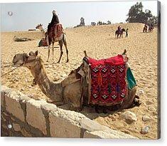 Egypt - Camel Getting Ready For The Ride Acrylic Print by Munir Alawi