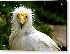Egyptian Vulture Acrylic Print