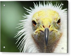 Egyptian Vulture Acrylic Print by David Stasiak