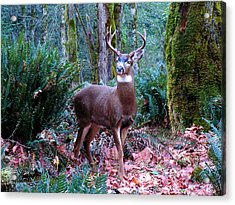 Eight Point Buck Acrylic Print by Tim Mattox