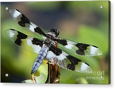 Eight-spotted Skimmer  Acrylic Print