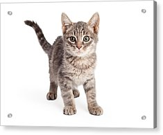 Eight Week Old Playful Tabby Kitten Acrylic Print