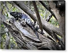 El Garrobo Acrylic Print by Jim Walls PhotoArtist