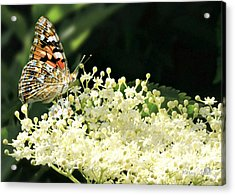 Elderflower And Butterfly Acrylic Print