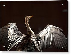 Elegant Anhinga Acrylic Print