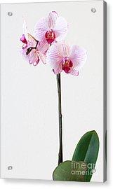 Elegant Orchid Acrylic Print