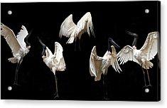 Elegant Raptor Acrylic Print