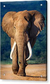 Elephant Approaching Acrylic Print by Johan Swanepoel