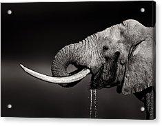 Elephant Bull Drinking Water - Duetone Acrylic Print by Johan Swanepoel