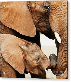 Elephant Calf And Mother Close Together Acrylic Print