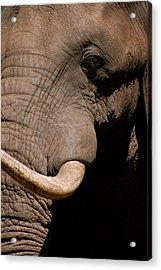 Elephant Close Up Acrylic Print by Tess Haun