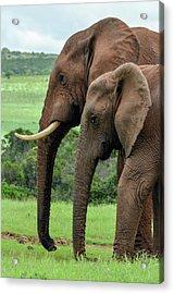 Elephant Couple Profile Acrylic Print