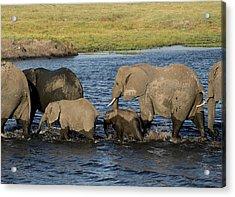 Elephant Crossing Acrylic Print