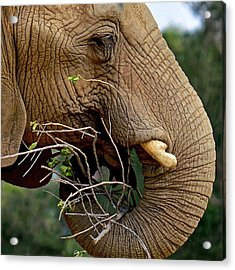 Elephant Curl Acrylic Print