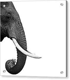 Elephant Acrylic Print by Daniel Pupius