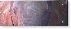 Elephant Ears Acrylic Print