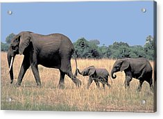Elephant Family Acrylic Print by Carl Purcell