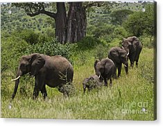 Elephant Family Tarangire Np Acrylic Print