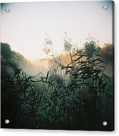 Elephant Grass At Dawn Acrylic Print