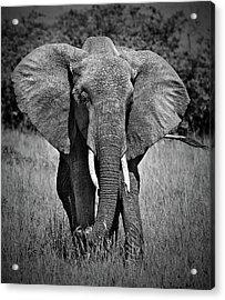 Acrylic Print featuring the photograph Elephant In Amboseli by Antonio Jorge Nunes