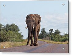 Elephant In Kruger Acrylic Print