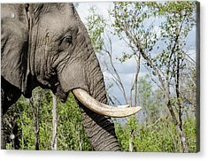 Acrylic Print featuring the photograph Elephant In Manyeleti Game Reserve by Rob Huntley