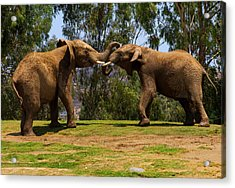 Elephant Play 3 Acrylic Print
