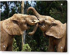 Elephant Play Acrylic Print