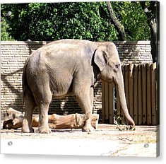 Acrylic Print featuring the photograph Elephant by Rose Santuci-Sofranko
