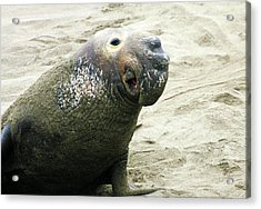 Acrylic Print featuring the photograph Elephant Seal by Anthony Jones