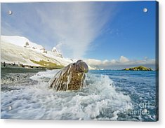 Elephant Seal In The Surf Acrylic Print